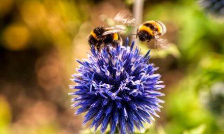 Propoliss – bišu brīnumlīdzeklis pret dažādām slimībām